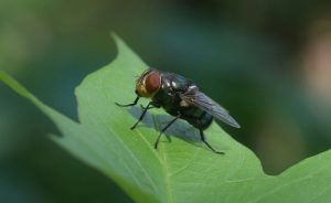 Lalat, fly housefly
